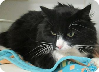 Domestic Mediumhair Cat for adoption in Lloydminster, Alberta - Tramp