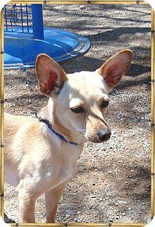 Chihuahua Mix Dog for adoption in Las Vegas, Nevada - Cinda