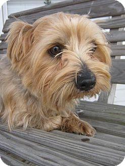 Yorkie, Yorkshire Terrier Mix Dog for adoption in Flora, Illinois - Jasper (Yorkie Mix)