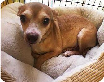 Chihuahua Mix Dog for adoption in Boca Raton, Florida - Julia