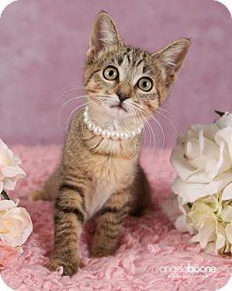 Domestic Shorthair Kitten for adoption in Plymouth, Minnesota - Sophia