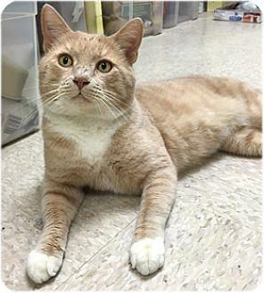 Domestic Shorthair Cat for adoption in Milford, Massachusetts - Luke