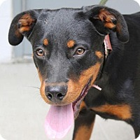 Adopt A Pet :: Ziba - Harrisonburg, VA