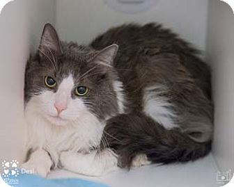 Domestic Mediumhair Cat for adoption in Merrifield, Virginia - Desi
