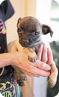 Pug/Chihuahua Mix Puppy for adoption in Allentown, Pennsylvania - Saki