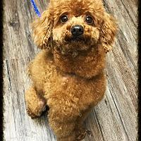Adopt A Pet :: Ember - Los Alamitos, CA