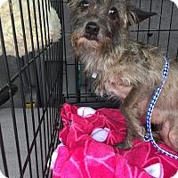 Adopt A Pet :: Brindi - Venice, FL