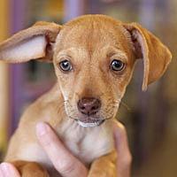 Adopt A Pet :: Amber - Pacific Grove, CA