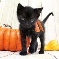 Adopt A Pet :: BooBoo - Harrisonburg, VA