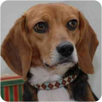 Beagle Dog for adoption in Westfield, New York - Molly