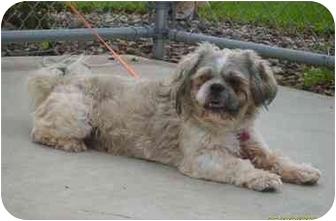 Shih Tzu Dog for adoption in Austin, Minnesota - Olaf
