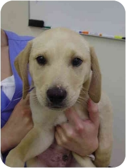 Labrador Retriever Mix Puppy for adoption in Cumming, Georgia - Burberry