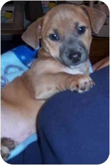 Jack Russell Terrier/Chihuahua Mix Puppy for adoption in Richmond, Virginia - Paco