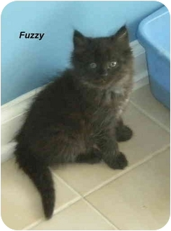 Domestic Mediumhair Kitten for adoption in Jacksonville, Florida - Fuzzy