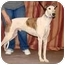 Photo 4 - Greyhound Dog for adoption in Santa Rosa, California - Klondike