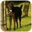 Photo 2 - Labrador Retriever/Shepherd (Unknown Type) Mix Dog for adoption in Austin, Minnesota - Chelsey
