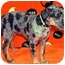 Photo 3 - Catahoula Leopard Dog Mix Puppy for adoption in Broomfield, Colorado - Muggles