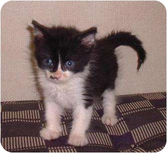 Domestic Mediumhair Kitten for adoption in Sterling, Kansas - Freckles