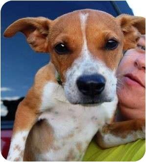 Terrier (Unknown Type, Small)/Beagle Mix Dog for adoption in Windham, New Hampshire - Cali