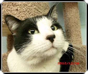 Domestic Shorthair Cat for adoption in North Little Rock, Arkansas - Oreo