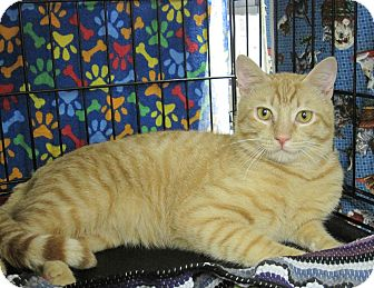 Domestic Shorthair Cat for adoption in Houston, Texas - Tom