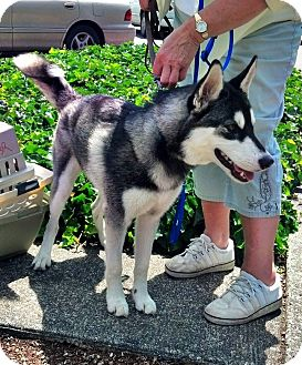 Husky Dog for adoption in Gig Harbor, Washington - Zara
