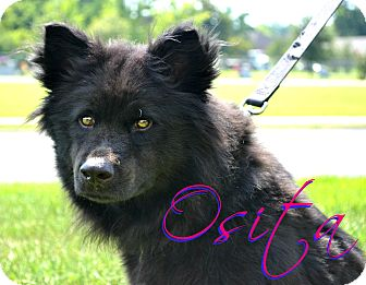 Chow Chow/Schipperke Mix Dog for adoption in Beaumont, Texas - Osita