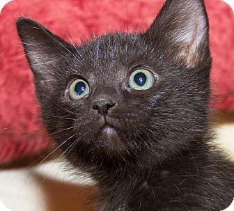 Domestic Shorthair Kitten for adoption in Irvine, California - Charlie