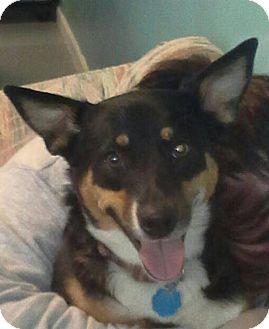 Shepherd (Unknown Type) Mix Dog for adoption in Branson, Missouri - Angel