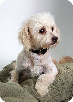 Miniature Poodle Mix Dog for adoption in Berkeley, California - Peluche