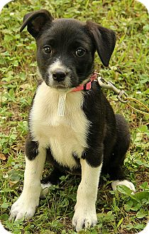 Border Collie/Boxer Mix Puppy for adoption in Albany, New York - Kerra