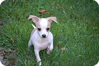 Chihuahua/Chihuahua Mix Puppy for adoption in Pikeville, Maryland - Jax