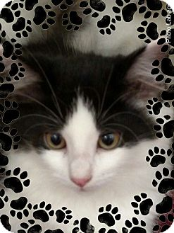Domestic Longhair Kitten for adoption in Pueblo West, Colorado - Palas