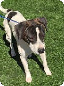Labrador Retriever/Beagle Mix Dog for adoption in Las Vegas, Nevada - Mulligan