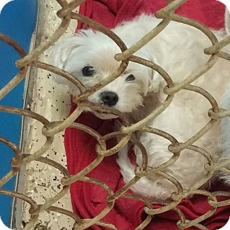 Maltese Dog for adoption in Mary Esther, Florida - Dasher