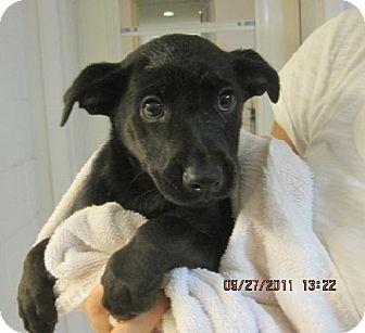 Labrador Retriever Mix Puppy for adoption in Rockville, Maryland - Orbit