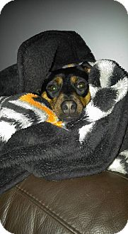 Miniature Pinscher/Terrier (Unknown Type, Small) Mix Dog for adoption in Sterling, Massachusetts - PRINCESS*~adopted