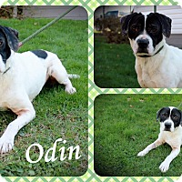 Adopt A Pet :: Odin - DOVER, OH
