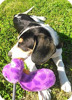 Foxhound/Basset Hound Mix Puppy for adoption in Montgomery City, Missouri - Roscoe