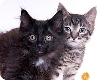 American Shorthair Kitten for adoption in Chicago, Illinois - Jared & Licorice