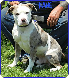 American Pit Bull Terrier Dog for adoption in Lawrenceburg, Tennessee - Kane