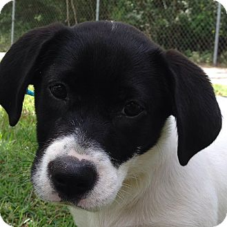 Hound (Unknown Type)/Border Collie Mix Puppy for adoption in SOUTHINGTON, Connecticut - Bonnie