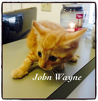 Domestic Shorthair Kitten for adoption in Dillon, South Carolina - John Wayne