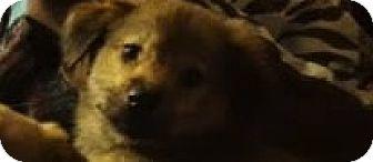 Australian Shepherd Mix Puppy for adoption in Saddle Brook, New Jersey - Angel