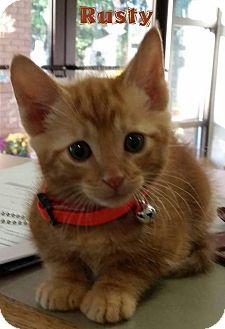 Domestic Shorthair Kitten for adoption in Golsboro, North Carolina - RUSTY