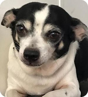 Chihuahua Mix Dog for adoption in geneva, Florida - Melody