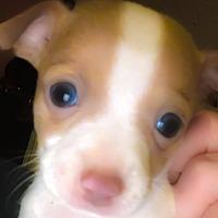 Adopt A Pet :: P-Nut - Cameron, NC