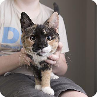 Domestic Shorthair Kitten for adoption in Wilmington, Delaware - Rosie