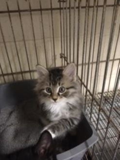 Domestic Shorthair/Domestic Shorthair Mix Cat for adoption in Lancaster, South Carolina - Pearl kitten1