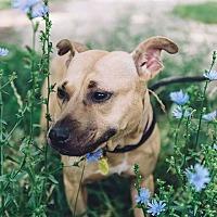 Pit Bull Terrier Mix Dog for adoption in Sharon Center, Ohio - Sasha